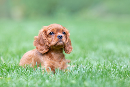 Cute puppy lying on the grass in the garden
