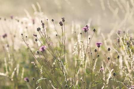 Thistle growing on the meadow in beautiful sunset light