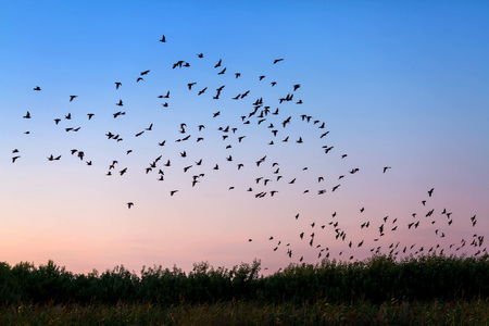 Bandada de pájaros volando sobre el campo a la luz de susnet