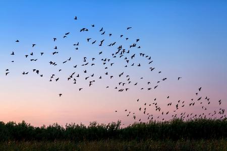 Flock of birds flying over the field in susnet light