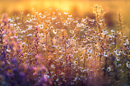 Beautiful summer meadow with colorful flowers in sunset light 版權商用圖片