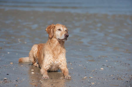 observed: Golden Retriever bitch lying in water and observed Stock Photo