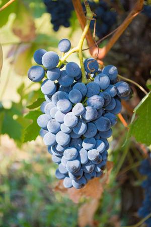 lambrusco: Red wine grapes