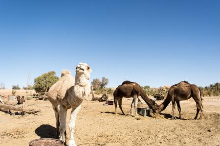 Dromedaries in the desert, Merzouga, Morocco