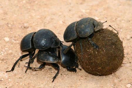 battling: Rare flightless dung beetles battling with a ball of elephant dung