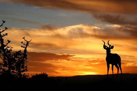 A kudu antelope against a sunset