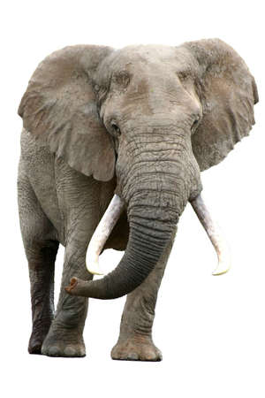 tusks: African Elephant isolated against a white background