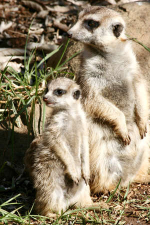 the offspring: Suricate (Meerkat) madre e hijos