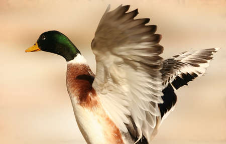 A male or drake mallard duck spreading its wings 2 photo