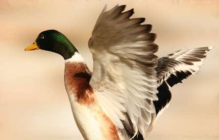 A male or drake mallard duck spreading it's wings 2 Stock Photo - 1412544