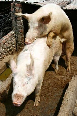 Los cerdos de apareamiento en su pocilga  Foto de archivo - 1423931
