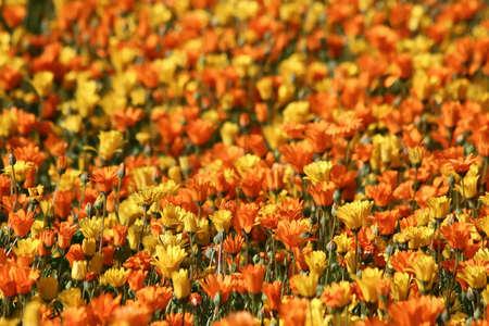 stigmate: beau lit de tapis de fleurs marguerites daisy flore Namaqualand fleurs orange p�tale p�tales jolie tiges �tamine �tamines jaune tiges stigmatisation