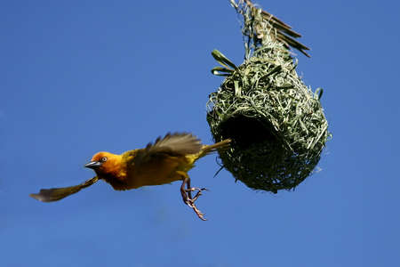 A Cape Weaver bird leaving its nest with wings spread photo