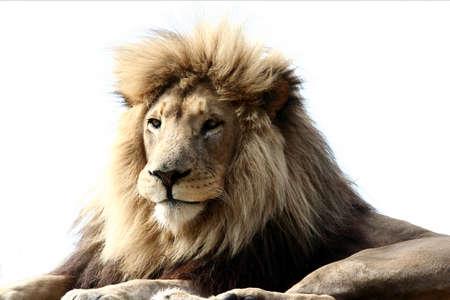 Male Lion Portrait on white background