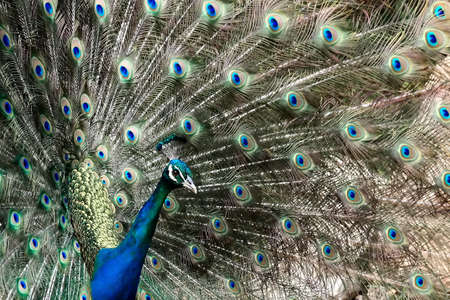 A proud peacock displaying to its mate photo