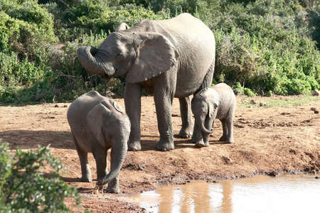 teats: An elephant cow with two of her young drinking water at a waterhole