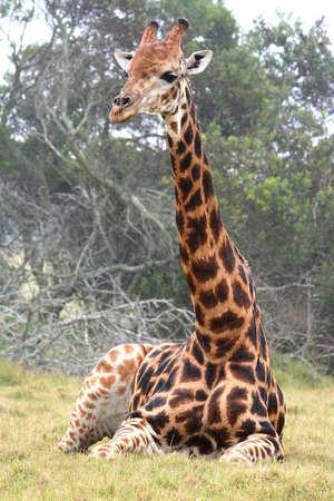 Una jirafa con cuello largo sentado en la hierba  Foto de archivo - 1787481