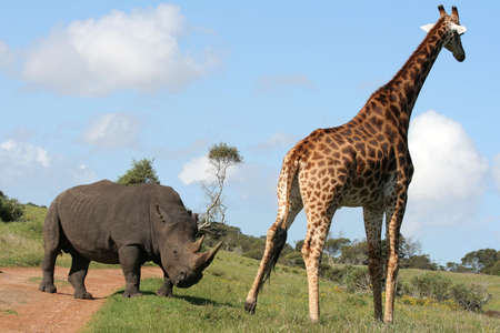 girafe: A white rhino and a giraffe Stock Photo