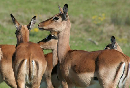 ewes: A herd of impala antelope ewes Stock Photo