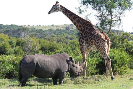 ponderous:  white rhino and a giraffe