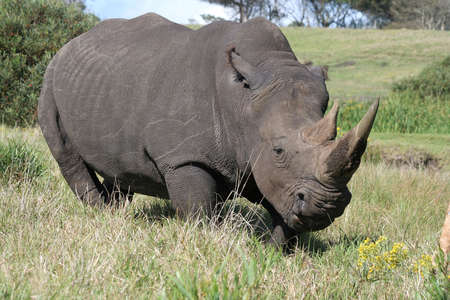 ponderous: A massive white rhino from Africa