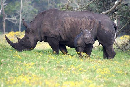 ponderous: White Rhino mother with  Rhino Stock Photo
