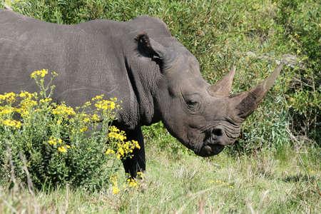 ponderous: Big White Rhinocerous