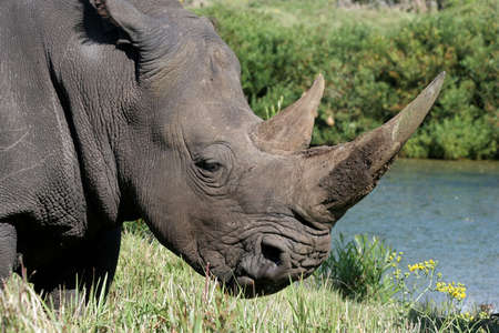 ponderous: Portrait of a white rhino with huge horns