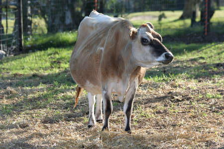 teats: Big brown cow on a dairy farm