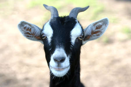 protruding eyes: Portrait of a goat with a funny look