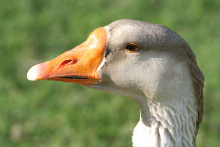 nostril: Portrait of a beautiful goose