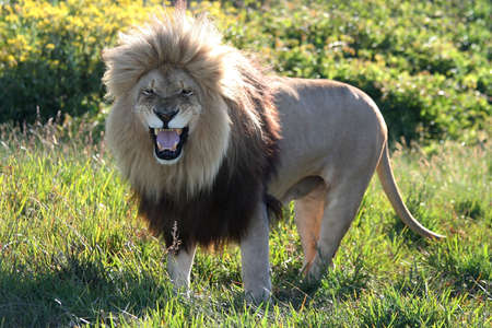 enormous: Magnificent male lion with an enormous mane and a fearsome snarl