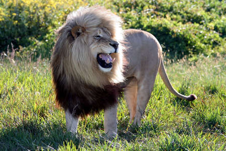 standing lion: Magnificent male lion with an enormous mane and a fearsome snarl