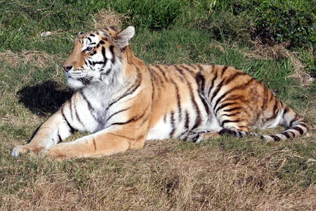 A handsome tiger lying down on the grass photo