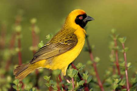 A pretty yellow masked weaver bird sitting on a spekboom bush