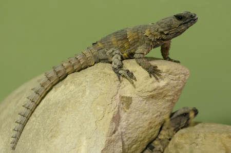 spiny: Armadillo Spiny Lizard basking on a rock