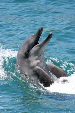 bottlenose: Smiling bottlenose dolphin with its head out of the water Stock Photo