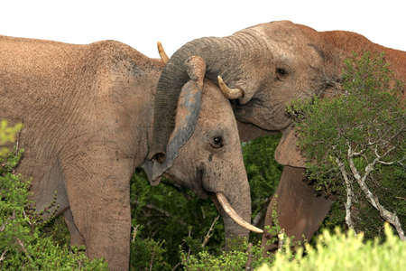 Two African Elephants play fighting in the Addo bush Stock Photo - 2603204