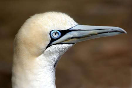 australasian: Portrait of a Gannet sea bird with a blue eye