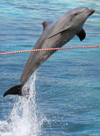 dolphin jumping: Bottlenose dolphin jumping over an outstretched pole