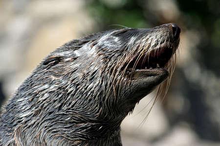 dientes sucios: Cabo Fur Seal con los dientes sucios ladrar  Foto de archivo