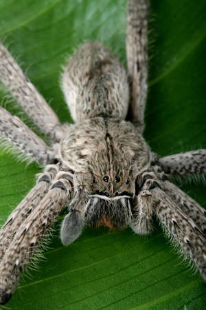 invertabrate: Close up of a hairy tarantula spider on a green laef showing its eyes