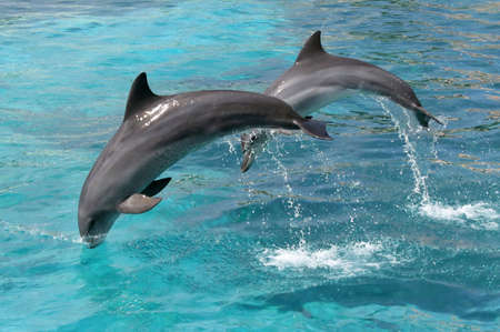 Bottlenose dolphins jumping out of the blue water
