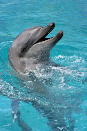bottlenose: Bottlenose dolphin with its head out of the water