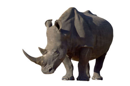 White Rhino with large horns isolated on a white background Stock Photo