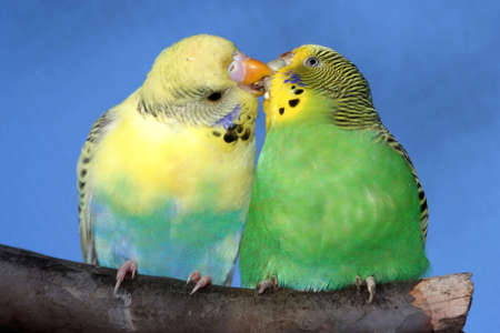 Breeding pair of budgies with the male budgie bird feeding his mate Stock Photo