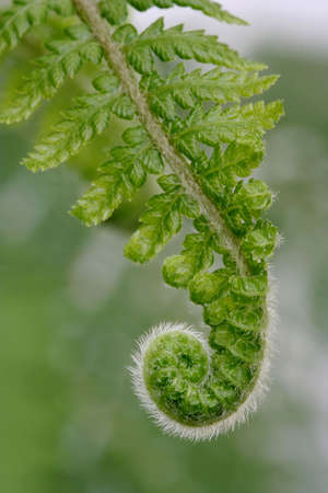 엽상체: Delicate new fern frond with intricate detail uncurling