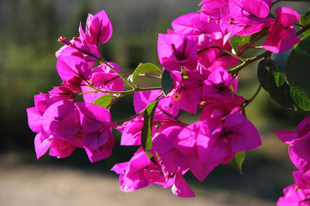 bougainvillea flowers: Beautiful bougainvillea flowers backlit by afternoon sun