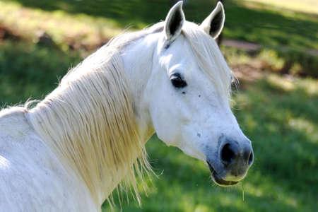 Caballo blanco con una brizna de hierba en su boca Foto de archivo