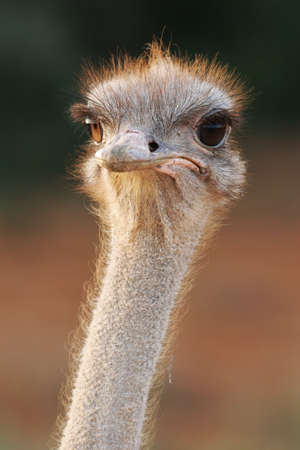 Portrait of an ostrich with a humorous expression photo